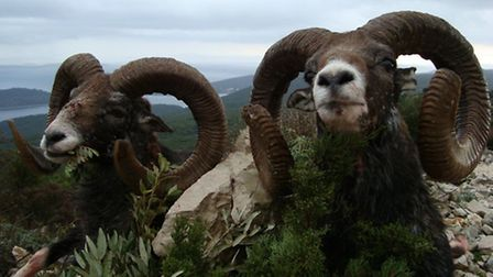 Two stunning gold medal rams taken by a hunter in Croatia on an Artemis Hunting trip