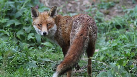You may have to vary the call to get the fox to come in