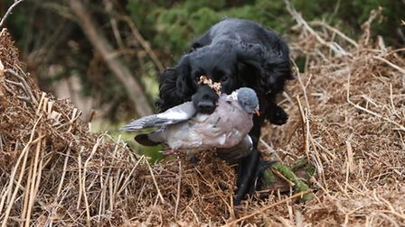 Harry disappeared into the bracken to find the pigeon