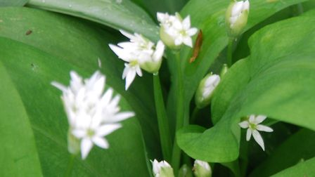 1. Ramsons, also known as wild garlic