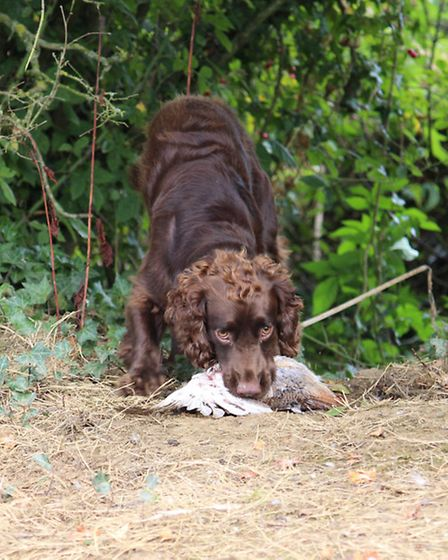 He will be using all his senses to perform a blind retrieve