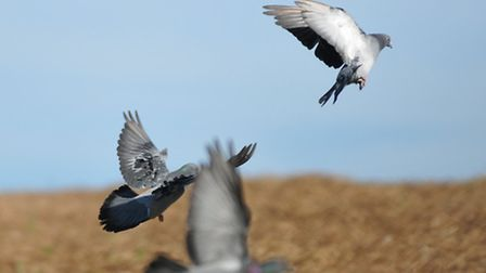 Setting up bangers elsewhere can help move pigeons where you want them