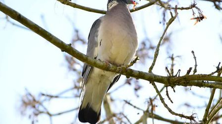 A shot that passes through a pigeon's brain will give a clean kill every time.