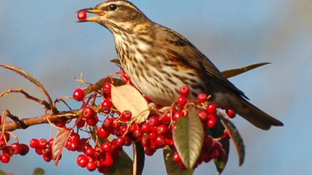 The redwing was one of 19 red-listed species spotted by farmers during the Big Farmland Bird Count.