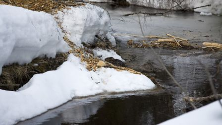 As the beaver steps up on a shallow ledge, it exposes itself for a shot.