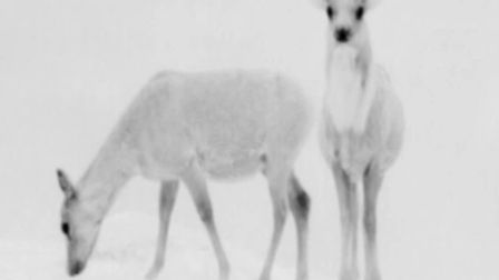 Thermal imaging sometimes makes it hard to determine species and age, because the antlers show up as