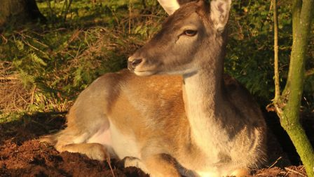 Roe in the German forest - a healthy deer