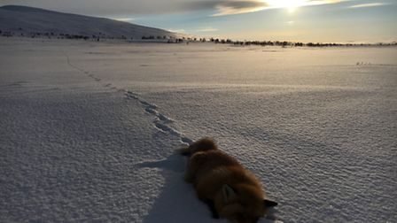 This male fox was spotted at two kilometers while glassing after a fresh track. It largely ignored t
