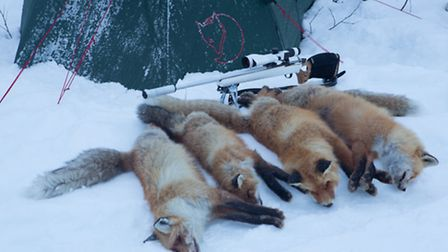 The second trip gave four foxes. The cull may seem low, but it is likely that every fox territory in