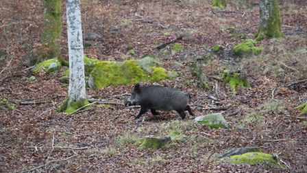 Females over 70 kilos are not to be shot on this hunt, so Anders Lindqvist lets this one pass