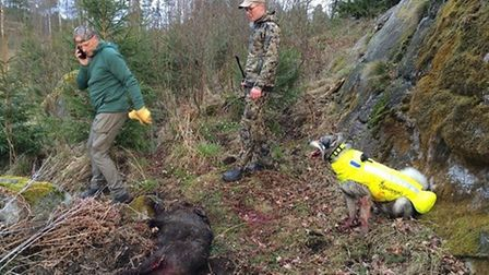 Hunting in Sweden with Jamthund to track and 'pin' the boar