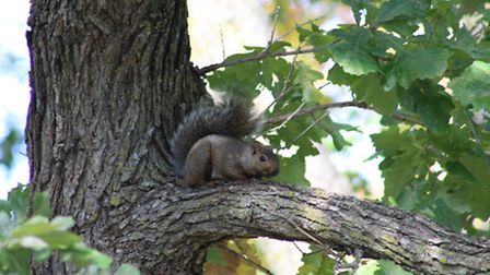 This squirrel came out and perched on a limb, unaware that a well-camouflaged hunter was less than 4