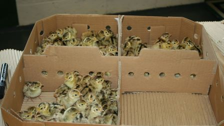 Most shoots will prefer to buy in day old chicks, like these ones, or even poults; the cost may be h