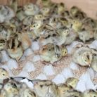 Very young birds will often be fed fishmeal to replace the protein and nutrients that would be provi
