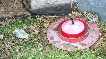 Currently, medications such as antibiotics are administered to the birds via their feed, but vets ar