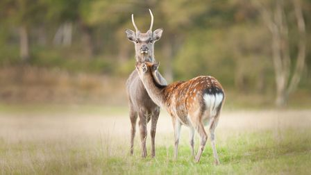 Their spotty coat and size means sika are sometimes mistaken for fallow deer