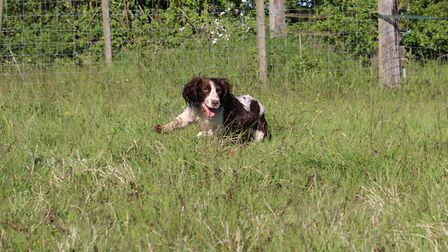 Most beaters choose a hard-hunting spaniel to join them in the beating line