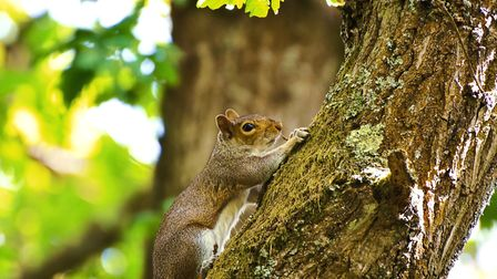 Grey squirrels seem to be public enemy number one these days