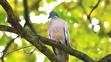 I see the woodpigeon as a magnificent game bird