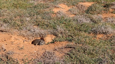 This hyrax dropped where it was hit, but they will make it down the hole with a less than perfect sh