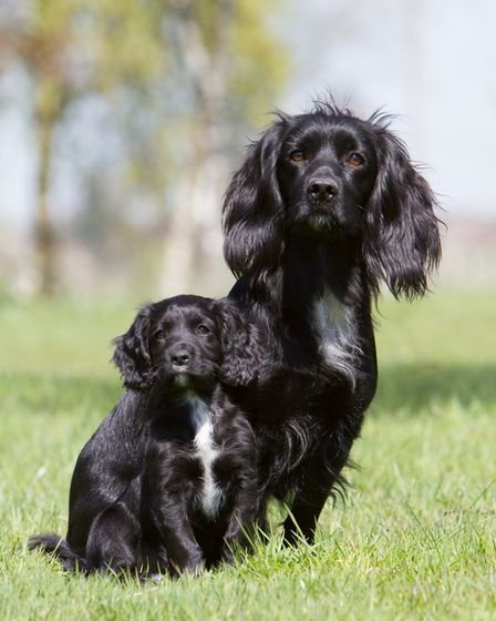 Black is a dominant gene and only one copy of it is needed for it to show in a pup