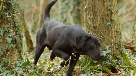 The temptation for a high drive dog to put its nose down and just free hunt is huge