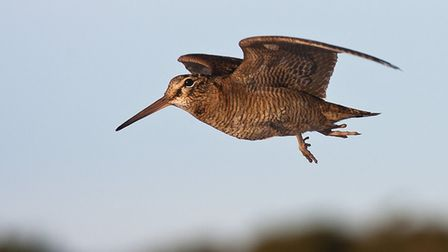Woodcock numbers have declined by approximately 29% between 2010 and 2013
