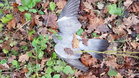 The second pigeon was easy to find, exactly where it had dropped