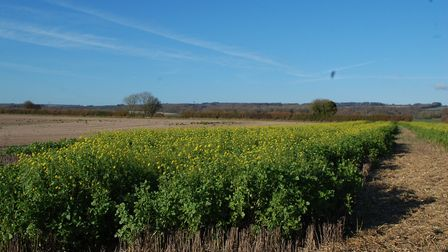 Mike uses a mix of cover crops, including Bright Seeds' Utopia - this one is mustard