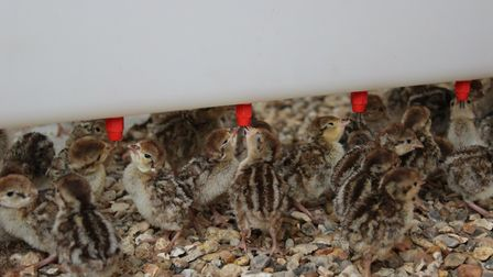 Partridge chicks using the Quill drinker system
