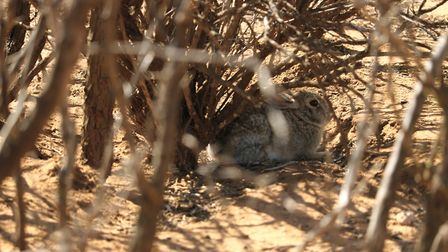 Easy enough to see this hiding rabbit in the photo, but step five feet away and he disappears