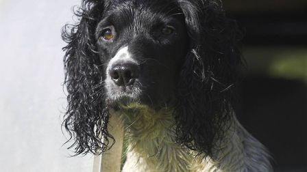 Englsih springers may be at higher risk of diabetes than some other breeds