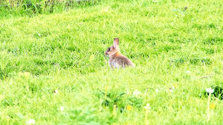 Young rabbits are often less wary but still ligitimate quarry
