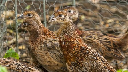 """The risk of """"bulgy eye"""" becomes greater with young rearing pheasants stressed by confinement and clo"""
