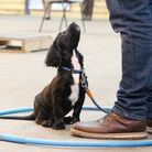 """The """"come, sit and watch"""" must be taught right from the start - the puppy should be sat between your"""