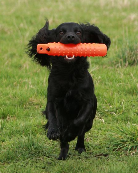 In most cases, it is best to keep your young dog away from game during early training - stick to dum