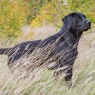 Once the dog is in 'the area' it is helpful to be able to get him to look for direction if needed