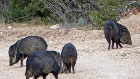 There is often the possibility of bigger game, such as this group of javalina spotted whilst rabbit