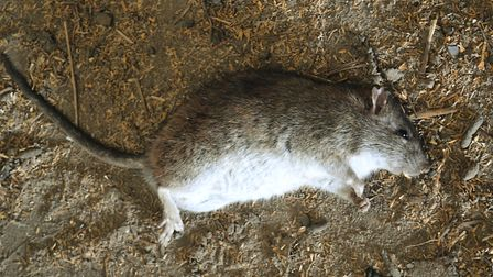 The rats had grown fat and daring in my absence - and that needed to change. PLEASE PLACE ALL RAT P