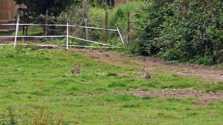 The rabbits weren't shy, but they were the wrong end of the field!