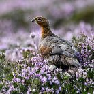 Red Grouse in the Heather