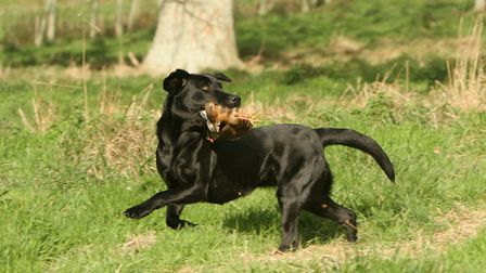 To avoid swapping birds, try not to send your dog into areas where multiple birds are down