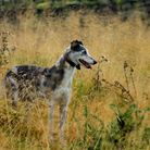 Blue merle rough coated lurcher hunting, waiting for bolt