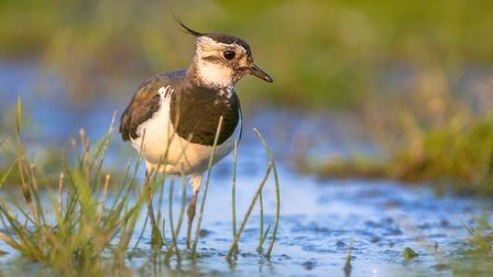 Afternoon shot of a Female Northern lapwing (Vanellus vanellus) wading in shallow blue water in betw