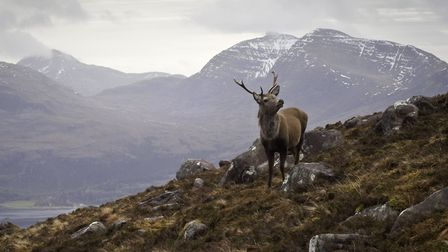 The celebrated 'Monarch of the Glen' red deer stag overlooking Loch Torridon and the dramatic Wester
