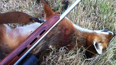 With good shot placement the 17Hmr can be an efficient tool for fox work