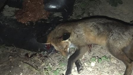 An urban fox shot cleanly dispatched with a 22Lr in a garden with sandbags and bait behind