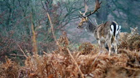 One recommendation was to prevent the further spread of non-native fallow and sika in Scotland