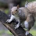 Non-native grey squirrels are getting out of hand and scuppering native red squirrel conservation pr