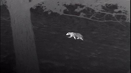 [Trev could you panel Accolade1/2/3 together and add the following joint caption] A badger at sp
